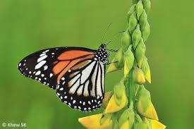 butterflies of singapore 09 01 2014 10 01 2014