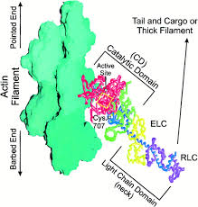 Map Sliding Thought Blog by Wag The Tail Structural Dynamics Of Actomyosin Cell