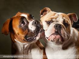 boxer dog 2015 diary a boxer and a british bulldog pet photography melbourne