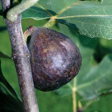 fig trees for sale buy fig trees from stark bro s