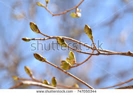 tree starting to bud stock images royalty free images