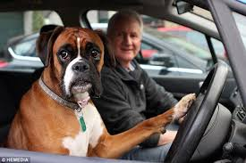 Funny Boxer Dog Memes - dog waiting in car repeatedly honks horn for 15 minutes while her