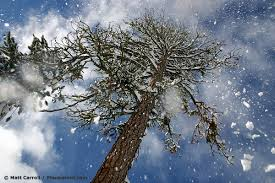photo of thawing snow falling from pine tree