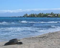 sea turtle wikipedia