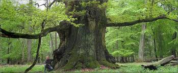 Trees Worldwide Monumentaltrees An Inventory Of Big And Trees Worldwide