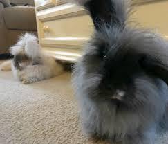 rabbits the backyard farmer u0027s fiber friend