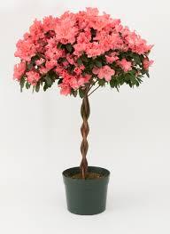 Inside Plants by Tree Large 8 Inch Pot Azaleas Pinterest Inside Plants