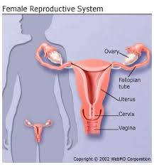 Female Anatomy Image Female Reproductive System Organs Function And More