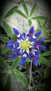 Bluebonnet Flowers - 121 best bluebonnets in texas images on pinterest texas