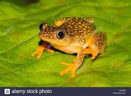 whitebelly reed frog heterixalus alboguttatus rainforest of