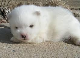 types of american eskimo dogs wright u0027s american eskimos puppies
