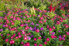 vinca flowers annual vinca flowers the madagascar periwinkle