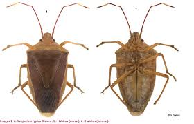 Synonym For Strong Work Ethic First Record Of Neojurtina Typica From India Hemiptera