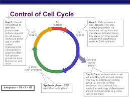 Mitosis And The Cell Cycle Worksheet Chapter 12 Part 1