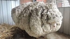 overgrown australian sheep chris u0027breaks world record u0027 bbc news