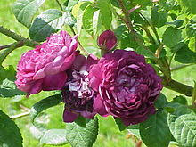 Blue Roses Blue Rose Wikipedia