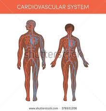 Cartoon Human Anatomy Human Anatomy Set Vector Illustration Isolated Stock Vector