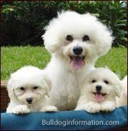 poodle vs bichon frise bichon family bichon type dogs