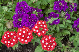 Verbena Flower Beautiful Red And Purple Verbena Flowers In A Garden Stock Photo