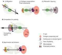 how polarity shapes the destiny of t cells journal of cell science