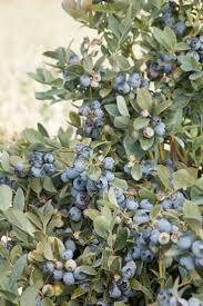 21 best hopelessly romantic plants images on pinterest monrovia