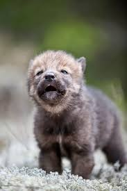best 25 wolves ideas on pinterest wolf black black wolves and