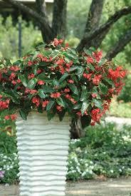 begonia dragon wing red