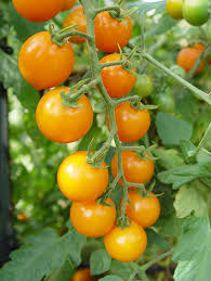 Types Of Patio Tomatoes Best Tomato Plants Chileplants Com
