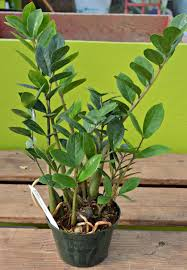 tall houseplants for low light keysindy com