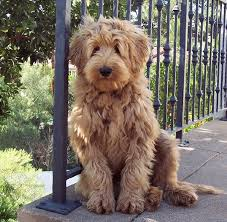 labradoodle hairstyles new haircut soft hair boy men hairstyle trendy