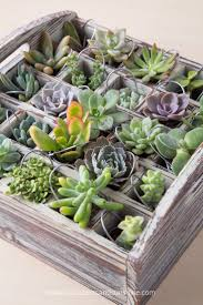 succulent advent calendar succulents and sunshine