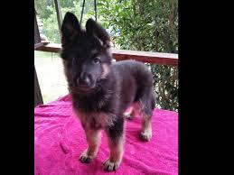 belgian sheepdog georgia barbara guzzo german shepherd dog puppies for sale