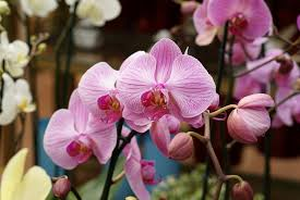 pink orchids orchids