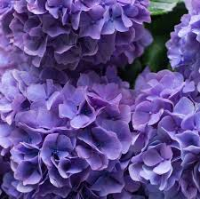 Bulk Hydrangeas Fresh Bulk Purple Hydrangea Stems 2 69 To 2 84 Per Stem