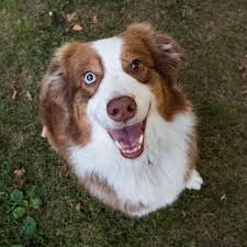 australian shepherd and beagle mix the dogist bronson australian shepherd 6 y o trinity