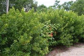 native hedgerow plants gardening for wildness functional native shrubs part 4