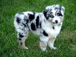australian shepherd pomeranian mix best 25 mini australian shepherds ideas on pinterest mini