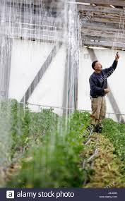 an organic farmer trains his tomato plants to a vertical trellis