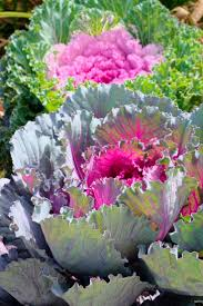 91 best decorative cabbage images on cabbages