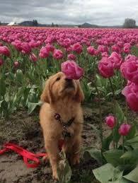 Flower Love Pics - labrador retriever intelligent and fun loving beagle dog and