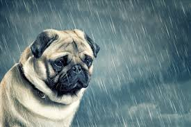 Depressed Pug Meme - an open letter to those who think their life sucks