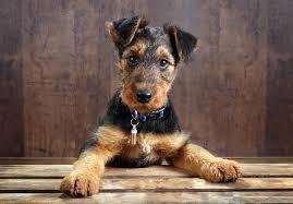 affenpinscher for sale ohio airedale terrier puppies for sale akc puppyfinder