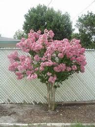 choosing a small ornamental tree dave s garden