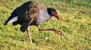 pukeko wetland birds