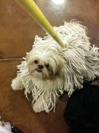 funny dog costumes halloween shih tzu u0026 a mop funny pictures pinterest shih tzus lhasa