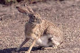 How Do I Get Rid Of Rabbits In My Backyard Animal Control Rabbits Trapping Removal And Prevention