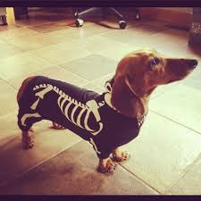 Halloween Costumes Wiener Dogs 25 Doxin Dog Ideas Dachshund Wiener Dogs