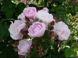 Very Fragrant Plants - fragrant roses top most fragrant roses rose fragrance medal winners