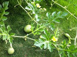 growing watermelons in containers terrace gardening of