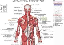 human anatomy muscles practice test muscles human anatomy charts